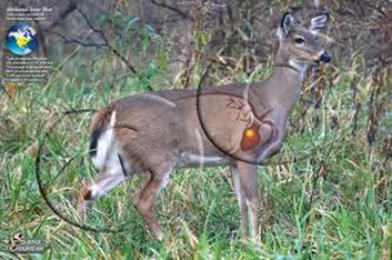 Circulatory system and respiratory system whitetail deer there are approximately ten vital circulatory channels in a whitetail deer in the middle of the upper section of the neck is the oblique posterior vena ccuart Choice Image